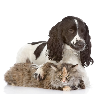 English Cocker Spaniel dog embraces a cat  looking away  isolated on white background photo