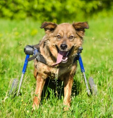 dog wheelchair: dog in a wheelchair in front
