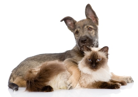 puppy and siamese cat together  isolated on white background Stock Photo - 21167246