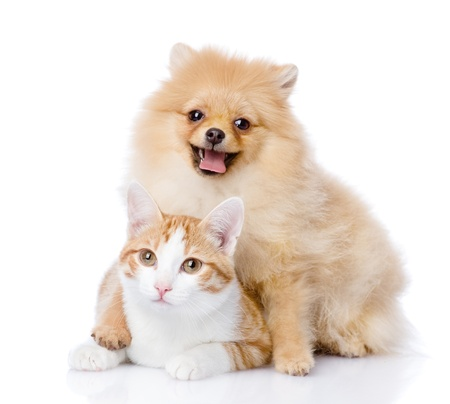 spitz dog embraces a cat  looking at camera  isolated on white background Stock Photo