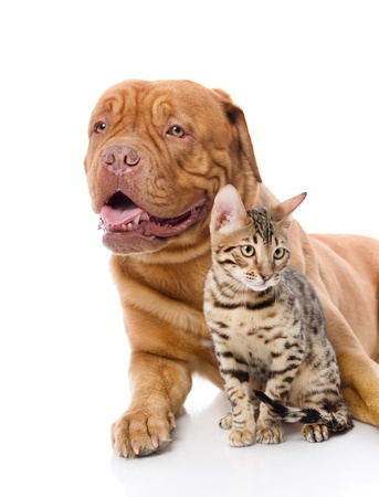Dogue de Bordeaux mastiff fran�ais et le chat-l�opard Prionailurus bengalensis regarder loin isol� sur fond blanc photo