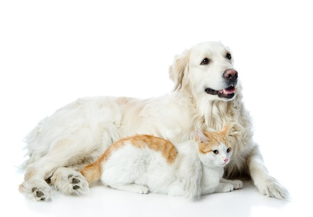 smiling cat: golden retriever and cat  looking away  isolated on white background Stock Photo