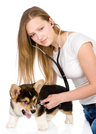 vet checking the heart rate of a adult Pembroke Welsh Corgi dog  looking at camera  isolated on white background photo