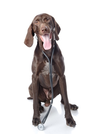 German Shorthaired Pointer with a stethoscope on his neck  looking at camera  isolated on white background photo