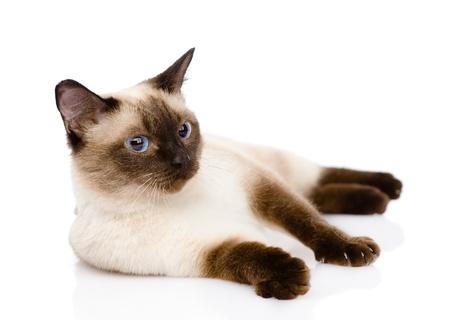 Siamese kat geïsoleerd op witte achtergrond Stockfoto