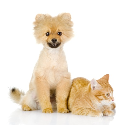 orange cat and dog  dog looking at camera  isolated on white background photo