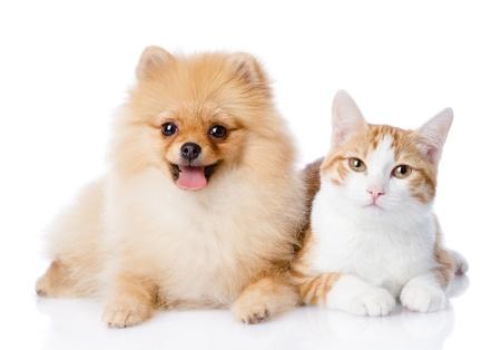白い背景で隔離のカメラを見て一緒にオレンジ色の猫とスピッツ犬