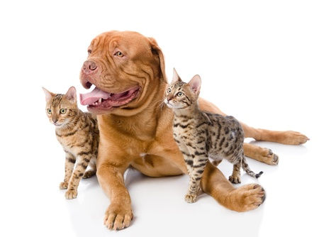 Dogue de Bordeaux  French mastiff  and Bengal cats  Prionailurus bengalensis  lying together  isolated on white background photo