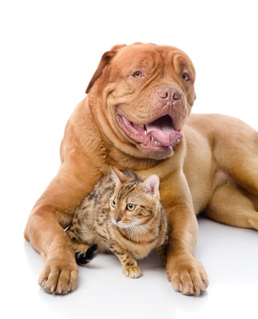Dogue de Bordeaux  French mastiff  and leopard cat  Prionailurus bengalensis   looking away  isolated on white background Stock Photo - 21352137