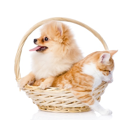 spitz dog embraces a cat in basket  looking away  isolated on white background photo