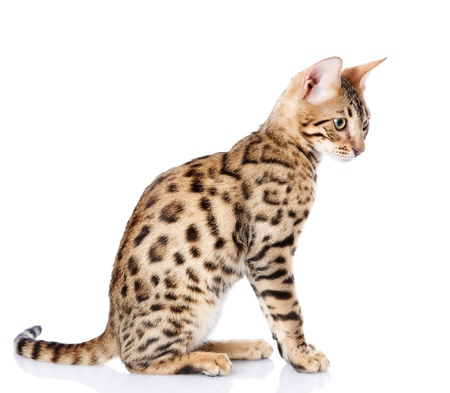purebred bengal cat  isolated on white background photo