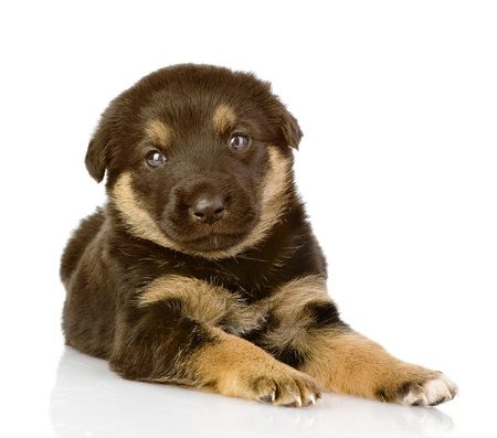 the black puppy lies  looking at camera  isolated on white background Stock Photo - 21352170