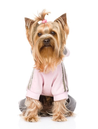 duffle: Yorkshire Terrier dressed in a tracksuit  isolated on white background