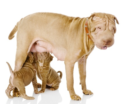 adult breastfeeding: the adult dog feeds the puppies  isolated on white background