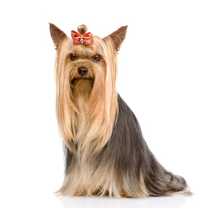 Yorkshire Terrier sitting in front  isolated on white background photo
