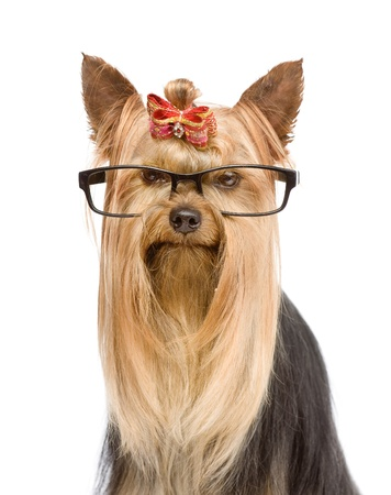 Yorkshire Terrier with glasses  isolated on white background Stock Photo - 21352196