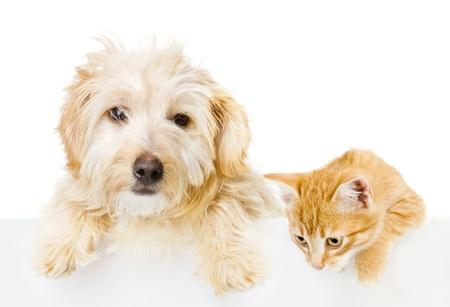 gato jugando: Gato y perro sobre la bandera blanca aislados en fondo blanco