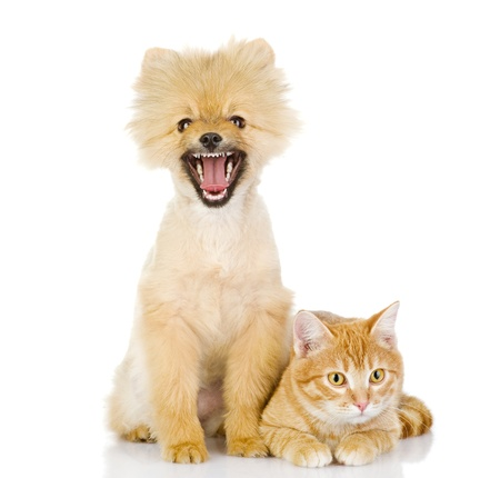 orange cat and dog  cat looking at camera  isolated on white background photo