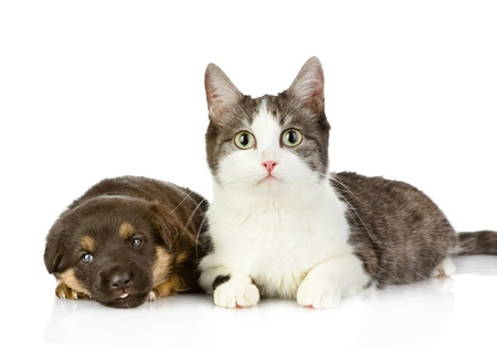 the cat lies near a dog  isolated on white background photo