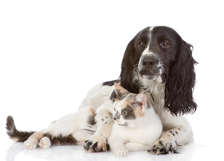 English Cocker Spaniel dog and cat lie together  looking at camera  isolated on white background photo