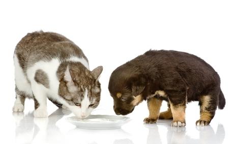 perro comiendo: el perro y el gato comiendo juntos aislados sobre fondo blanco
