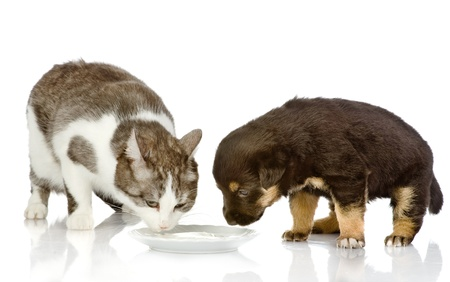 animals together: the dog and cat eating together  isolated on white background Stock Photo