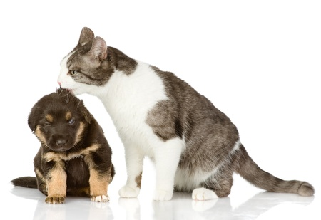 valentine cat: cat kisses a puppy  Isolated on a white background Stock Photo