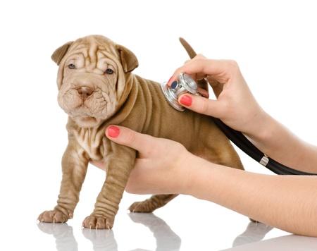 sharpei: Veterinarian hand examining a sharpei puppy dog  isolated on white background