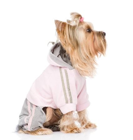 Yorkshire Terrier dressed in a tracksuit  isolated on white background