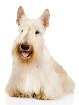 Scottish Terrier in front   isolated on white background photo