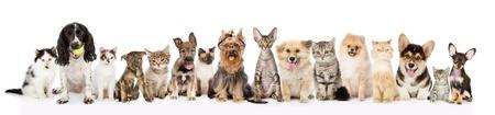 猫と犬の前での大規模なグループに隔離されたホワイト バック グラウンドを表示します。 写真素材