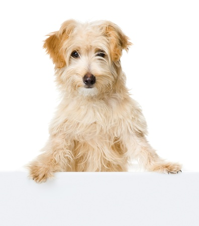 blank banner: dog looking and camera  isolated on white background