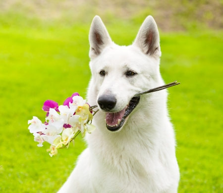 Purebred White Swiss Shepherd  with a flower in its mouth photo