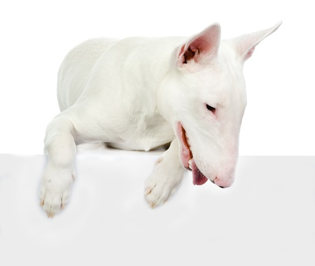 Dog above white banner  isolated on white background photo