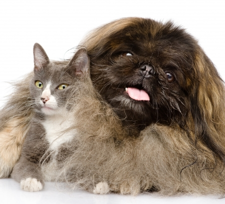 Fluffy Pekingese and cat together  isolated on white background photo