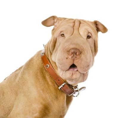 카메라를보고 sharpei 강아지 흰색 배경에 고립