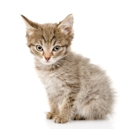 fluffy gray beautiful kitten  isolated on white background photo