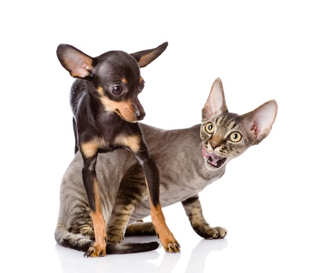 toyterrier: devon rex cat and toy-terrier puppy playing together  looking away  isolated on white background Stock Photo