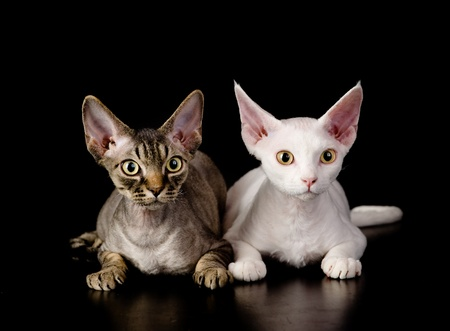 devon: two white devon rex cats  isolated on dark background