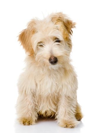 puppy dog looking at camera  isolated on white background photo