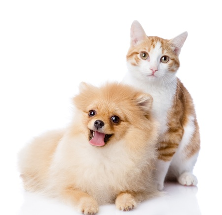 paw smart: orange cat and dog  dog looking at camera  isolated on white background