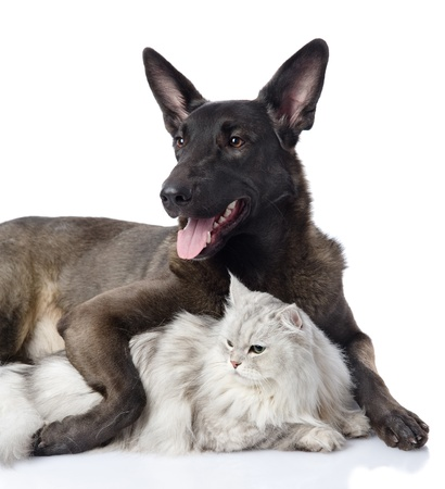 black dog embraces a cat  looking away  isolated on white background photo