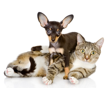 the puppy lies on a striped cat looking at camera  isolated on white background