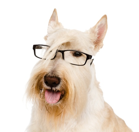 Scottish Terrier with glasses  isolated on white background photo