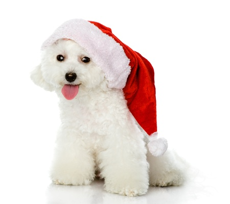 cute puppy dog in red christmas Santa hat, isolated on white background photo