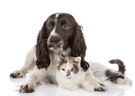 small white dog: English Cocker Spaniel dog and cat lie together  looking at camera  isolated on white background