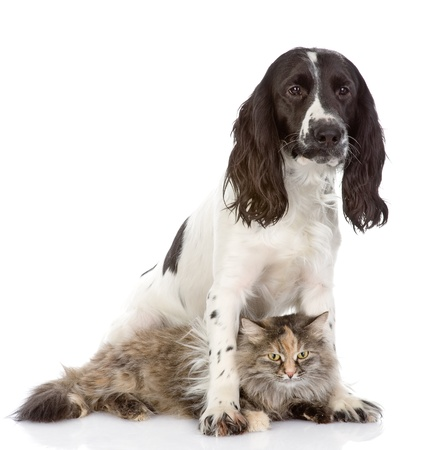 the dog embraces a cat  looking at camera  isolated on white background photo