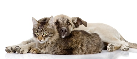the dog lies on a cat  isolated on white background