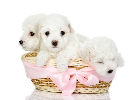 white maltese: three puppies in a basket  looking at camera, isolated on white background