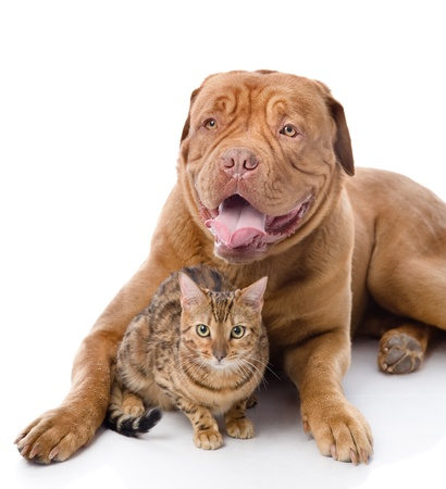 Dogue de Bordeaux mastiff fran�ais et le chat-l�opard Prionailurus bengalensis isol� sur fond blanc photo